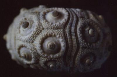 A la découverte des oursins fossiles